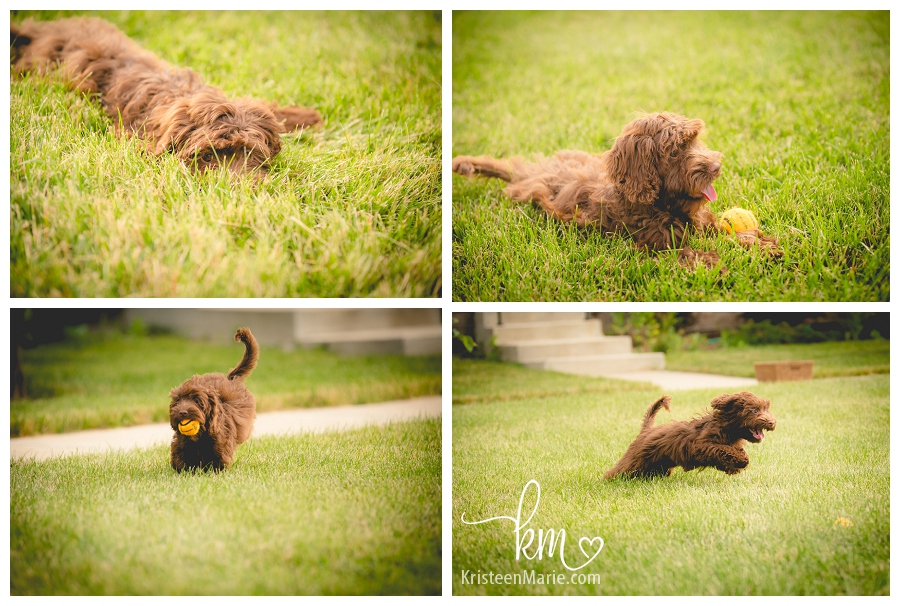 Labradoodle puppy playing