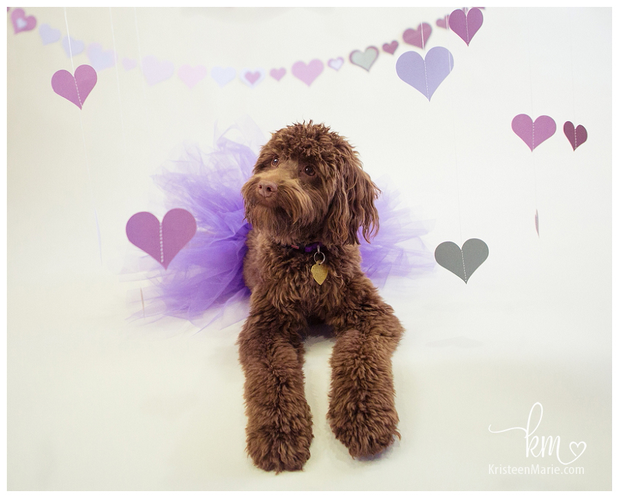 Rosie the Labradoodle