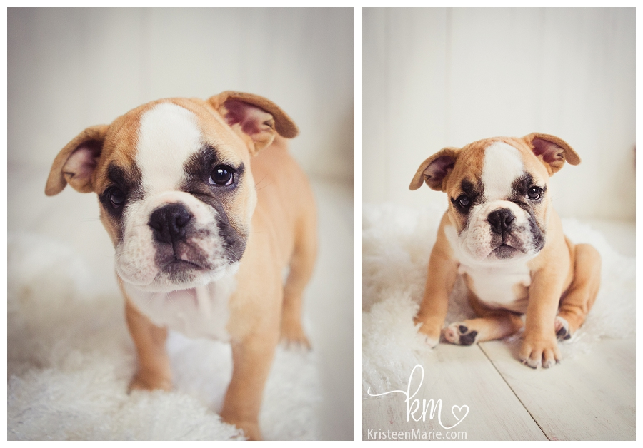 The many faces of a bulldog puppy
