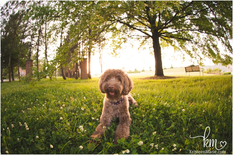 labradoodle under a tree at sunset