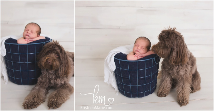 mini labradoodle and baby in a basket